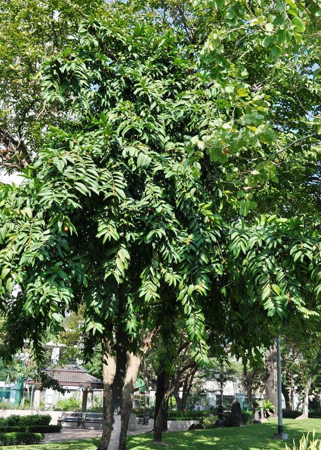 GKZ植物事典・ベンガルガキ